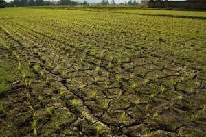 <!--:IN-->230 Hektare Sawah di Majalengka Puso<!--:-->