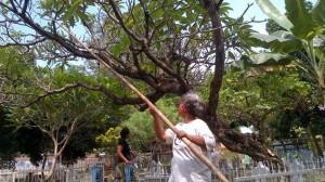 Harga Bunga Kamboja Melambung