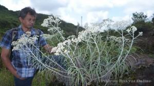Bunga Edelweis Ciremai Berbunga Pada Lahan Bekas Galian Batu
